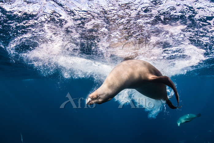 Sea lions hunting and feeding ・・・