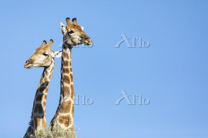 Africa, Botswana, Kgalagadi Tr・・・