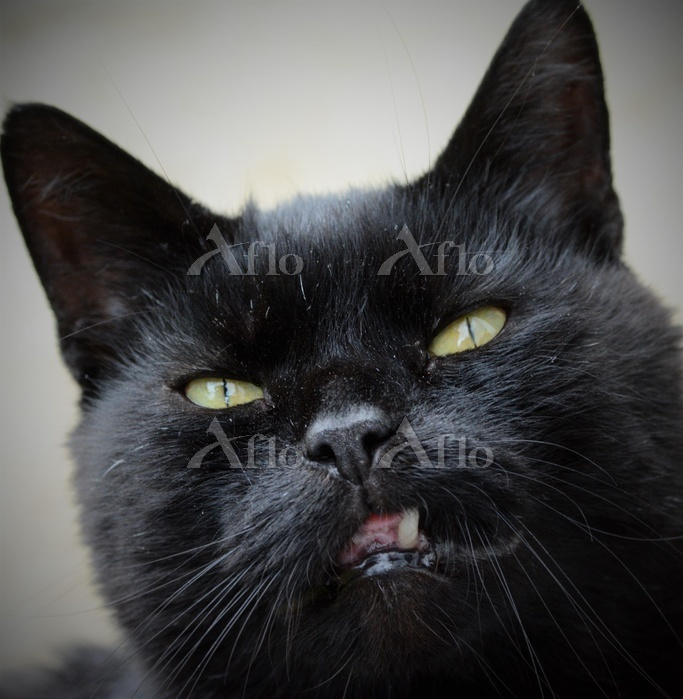 不機嫌な顔をする黒猫(ブリティッシュショートヘア)