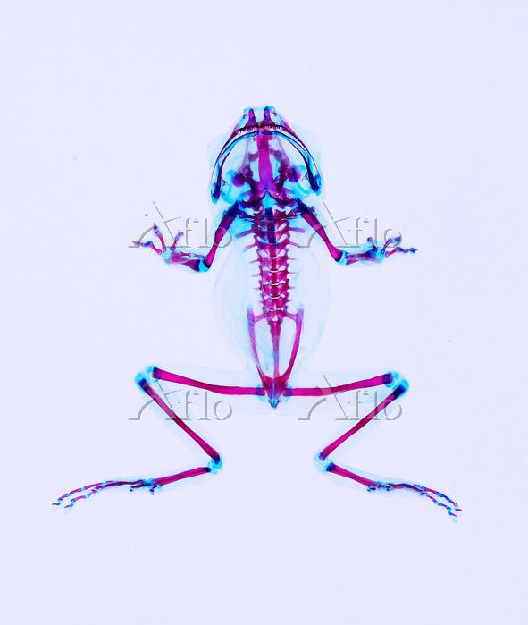 アマガエル 透明骨格標本