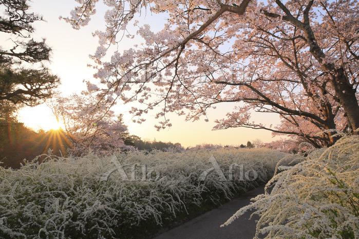 愛知県 愛知緑化センター 朝日に染まる桜とユキヤナギ