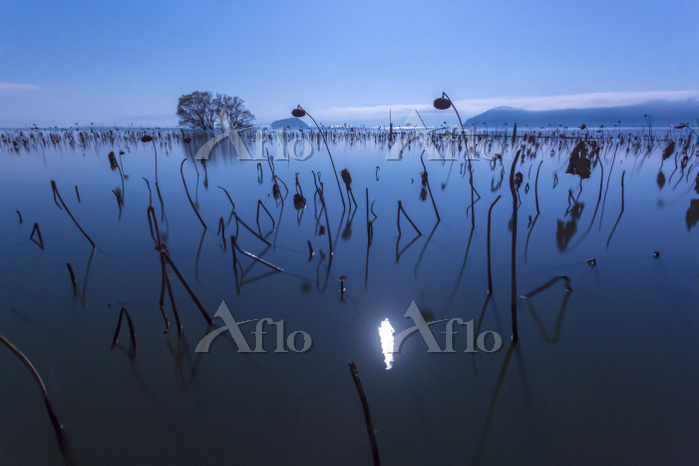 滋賀県 湖北町の琵琶湖の枯れハスの夜景