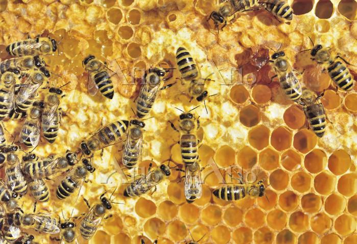 セイヨウミツバチ 蜂