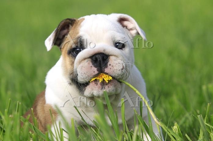 花を食べる子犬 ブルドッグ