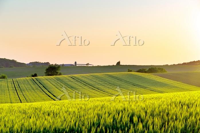 北海道 午後の小麦畑の丘