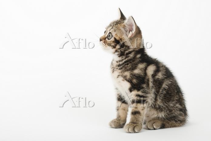 アメリカンショートヘア 座っている子猫