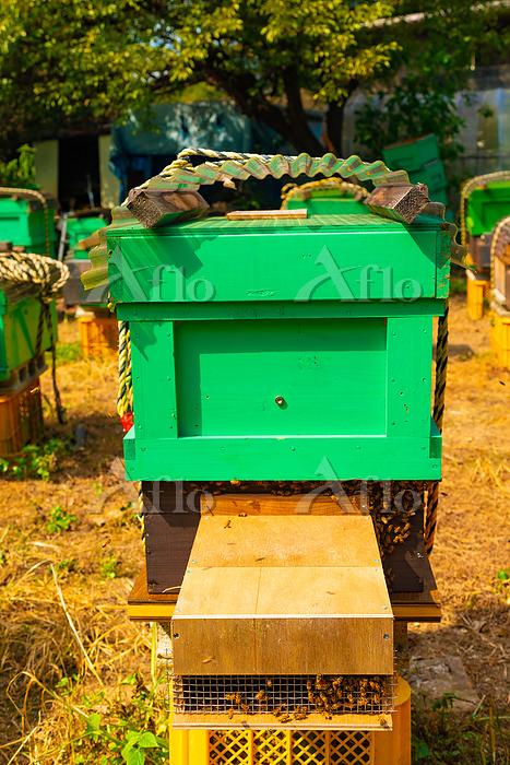 養蜂 西洋ミツバチ