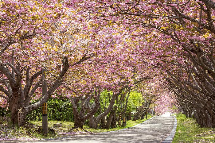 函館市 石崎海地主神社のサクラ並木