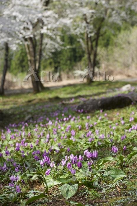 カタクリの花と桜