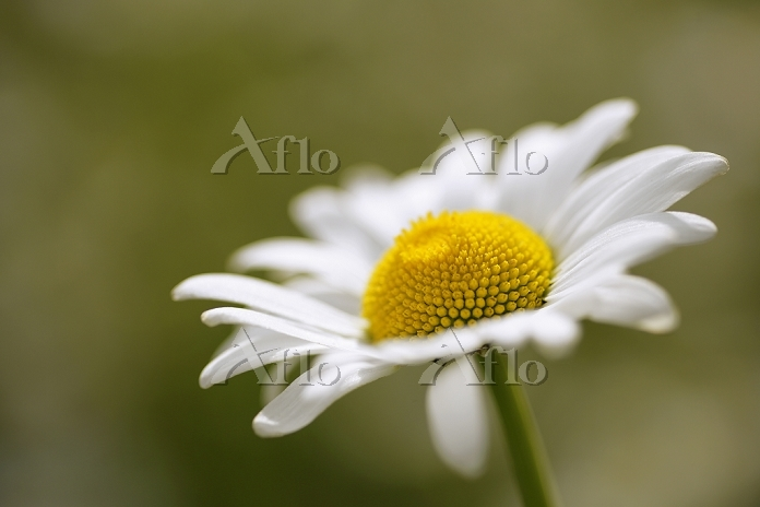 Marguerite (leucanthemum vulga・・・