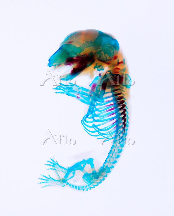 マウス 透明骨格標本