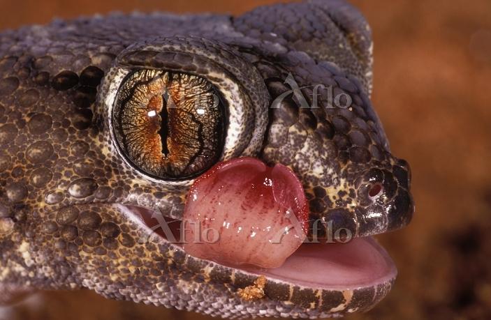 Giant ground gecko  Chondrodac・・・