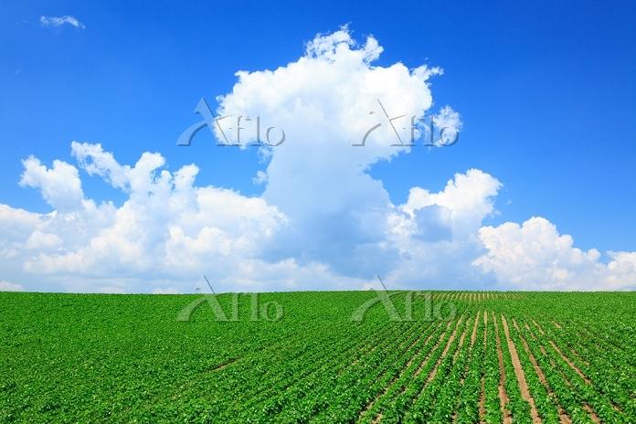 北海道 積乱雲と大豆畑