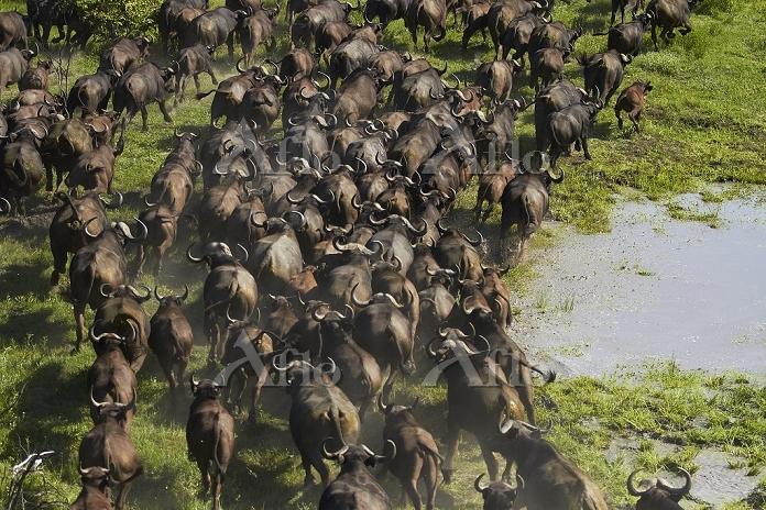 ボツワナ  オカバンゴ湿地帯 アフリカ水牛の群れ