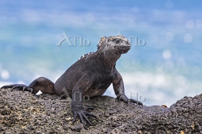エクアドル ガラパゴス諸島 ウミイグアナ