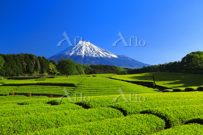 静岡県 一番茶の大淵笹場茶畑と残雪の富士山