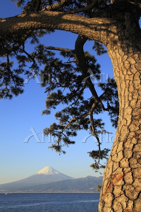 静岡県 大瀬崎 富士山と松と駿河湾