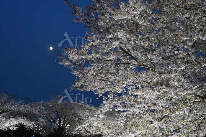 東京都 野川桜 夜桜 月 1年に3時間のライトアップ