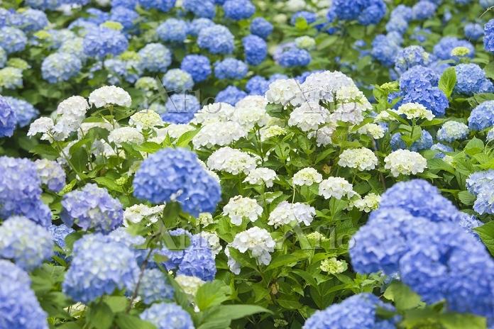 初夏の花 アジサイ