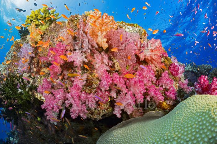 フィジー サンゴ礁 魚の群れ