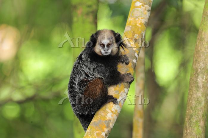 Wied's black-tufted-ear marmos・・・