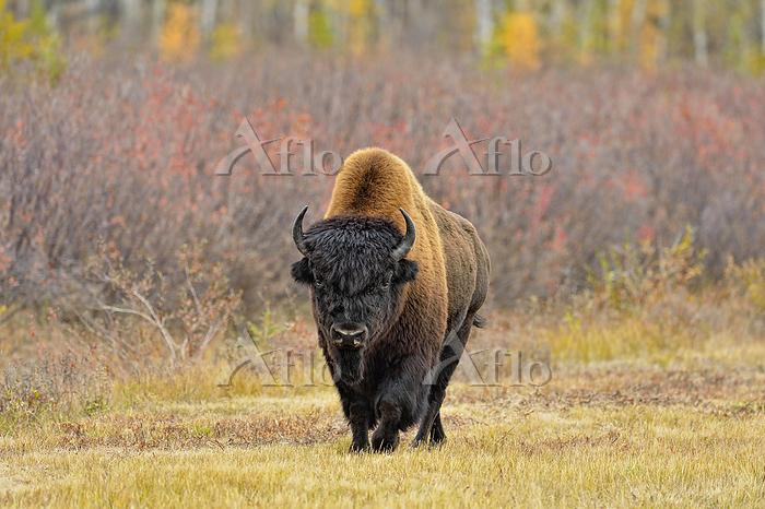 Wood bison/buffalo (Bison biso・・・