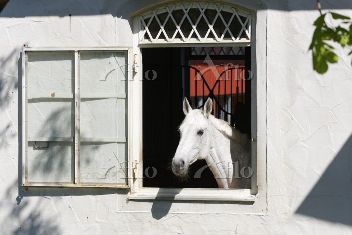 White horse looking out of win・・・