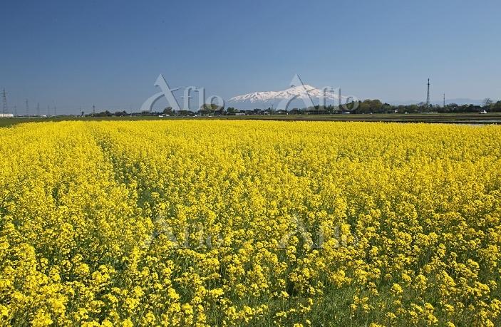 鳥海山とナノハナ 2014.05.11 山形県 三川町