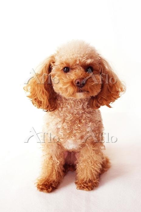 おねだり顔のトイプードル 犬