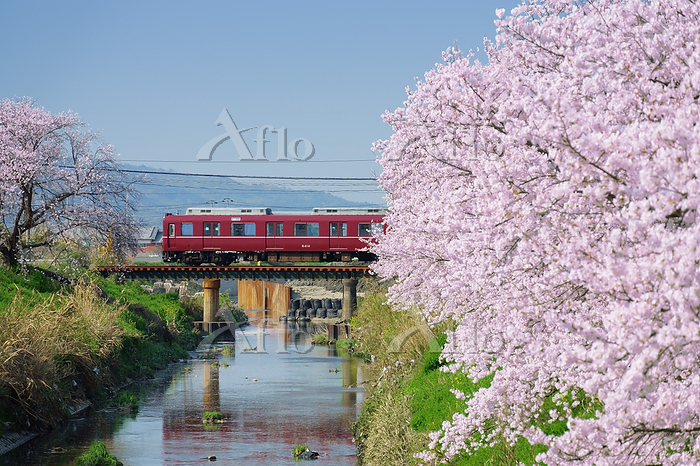 奈良県 近畿日本鉄道 桜並木と8普通列車