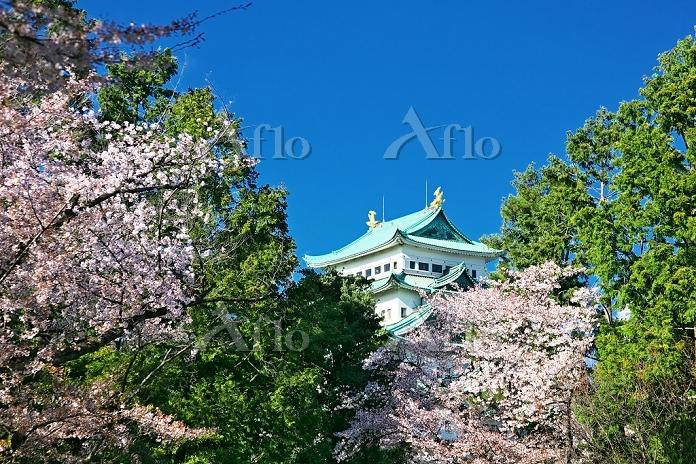 愛知県 名古屋城と桜