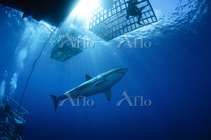 Female great white with cages,・・・