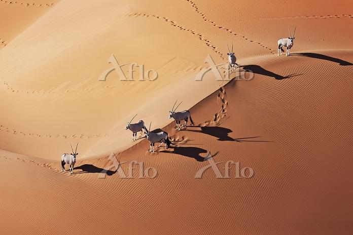 ナミビア 砂漠を歩くオリックス
