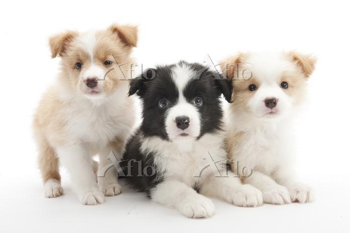 ボーダーコリー 3頭の仔犬