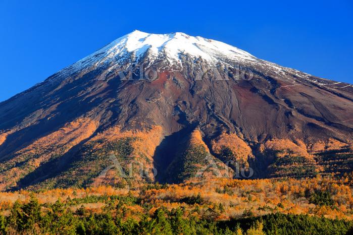 静岡県 西臼塚 冠雪の富士山と黄葉した原生林