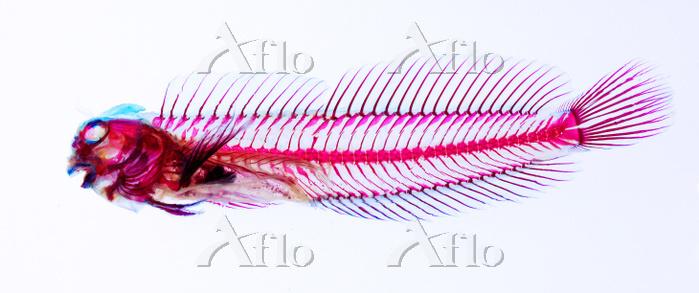カエルウオ 透明骨格標本