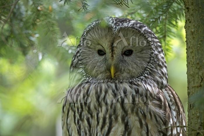 Adult ural owl, (Strix uralens・・・