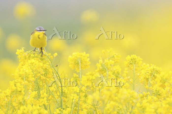 学名:Brassica napus Yellow Wagta・・・