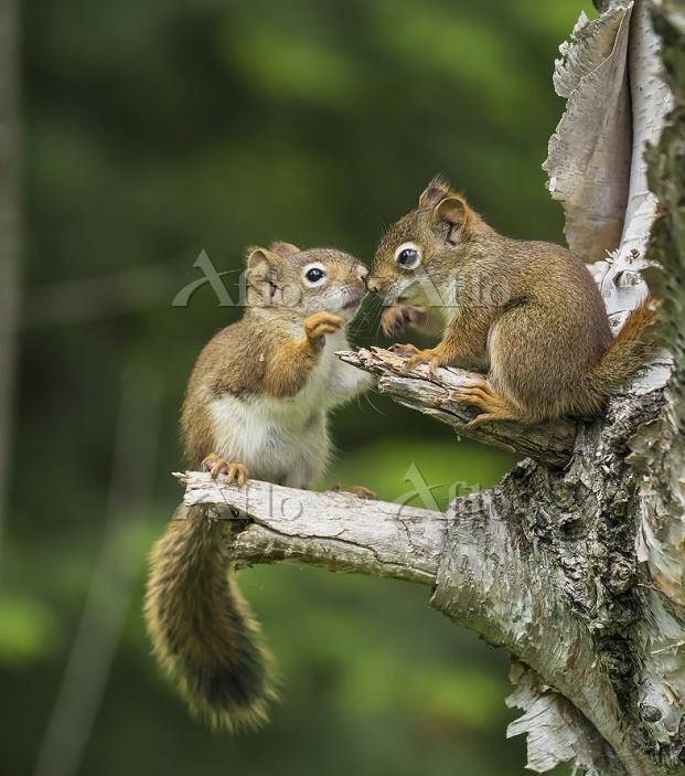 カナダ 木の上で遊ぶ2匹のキタリス