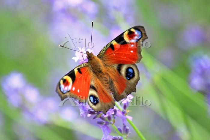 ラベンダーで蜜を吸う蝶