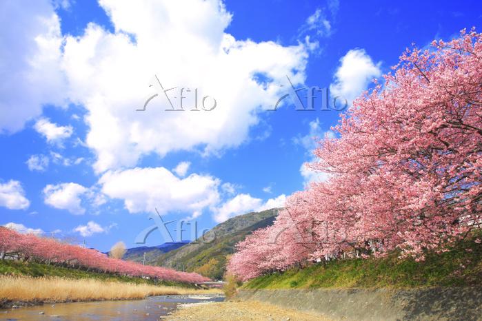 静岡県 河津川の堤防に咲く河津桜並木