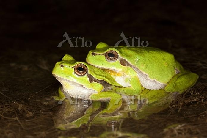 学名:Hylidae European Tree Frog ・・・