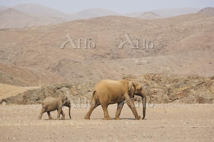 Desert-dwelling African Bush E・・・