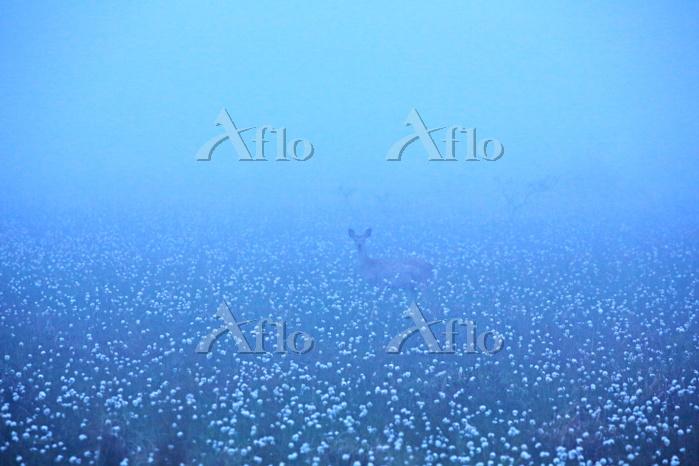 北海道 霧多布湿原の朝霧とエゾシカ