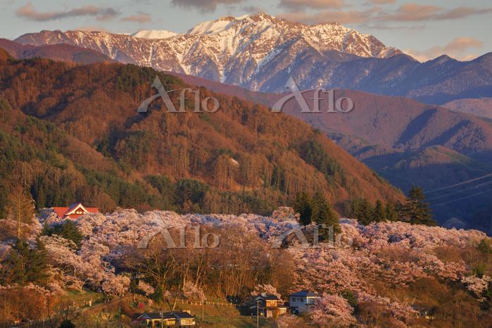 長野県 夕映えのタカトオコヒガンザクラ咲く高遠城址公園と南ア・・・