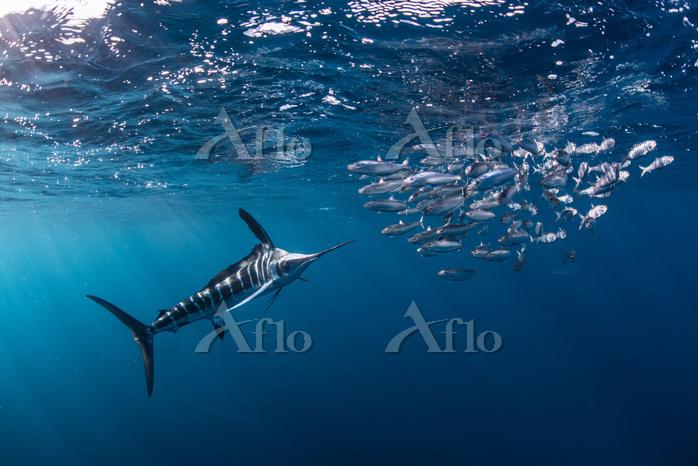 Striped marlin hunting mackere・・・