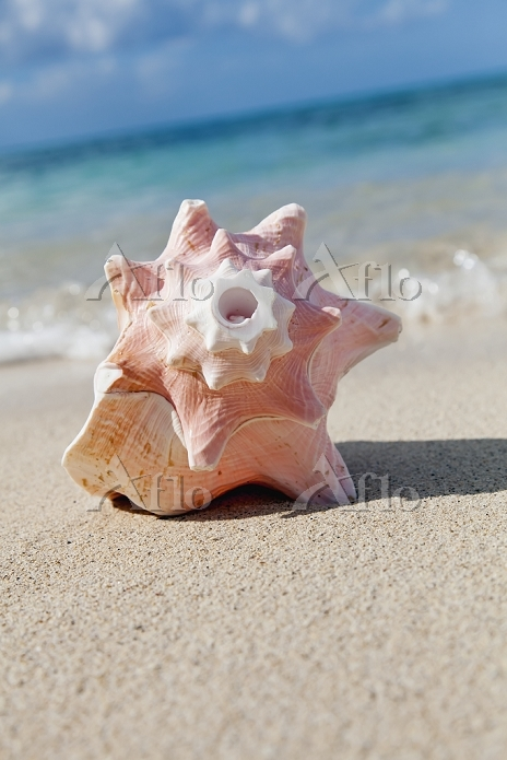 A large conch shell on the bea・・・