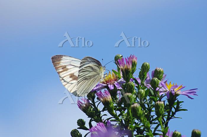 モンシロチョウが吸蜜の菊と青空