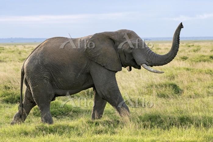 African elephant (Loxodonta af・・・