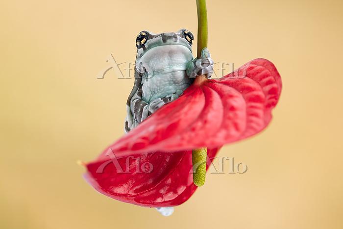 Cuteexoticfrogonaredflower.Typ・・・